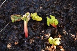 Rhubarb 3