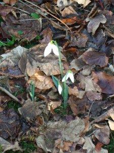 Snowdrops warley 3
