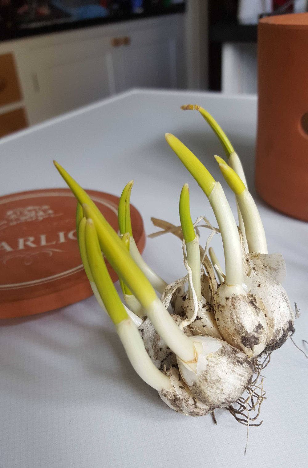 Garlic bolted