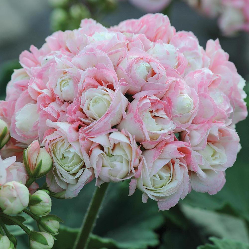 Geranium appleblossom