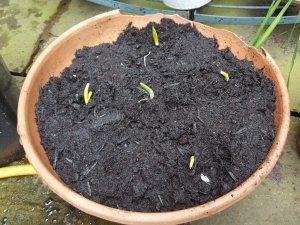 sown garlic