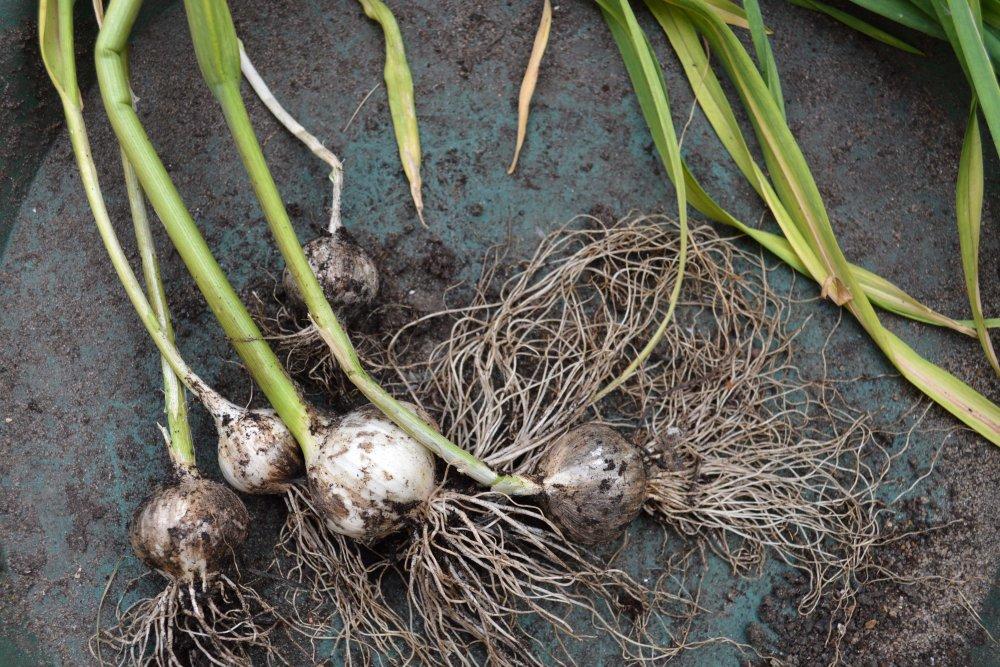 garlic reborn