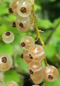 whitecurrants 6