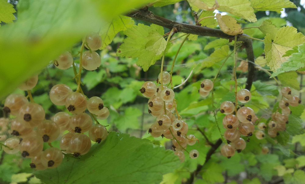 whitecurrants4jpg