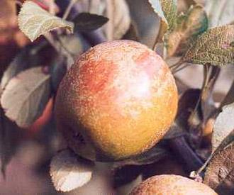 apple-hubbards-pearmain