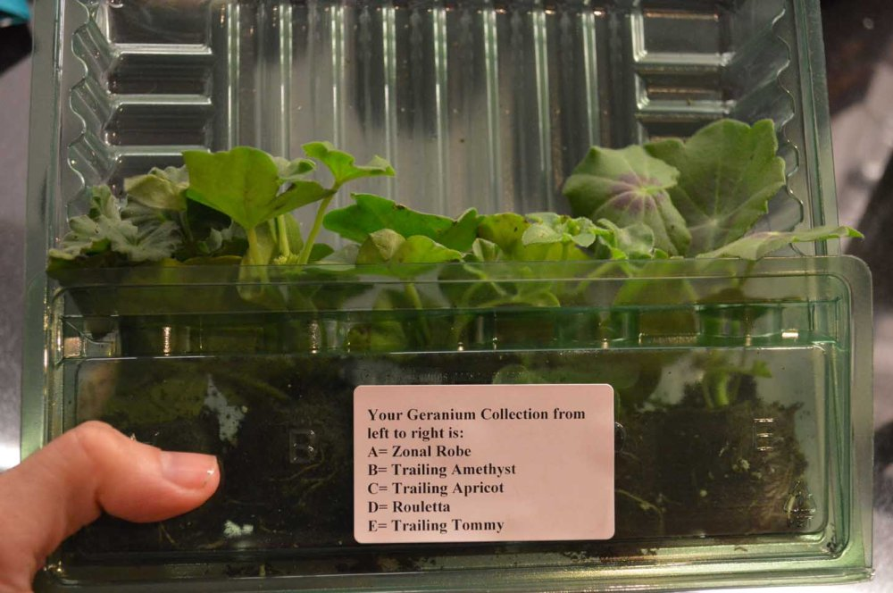 infant-pelargoniums