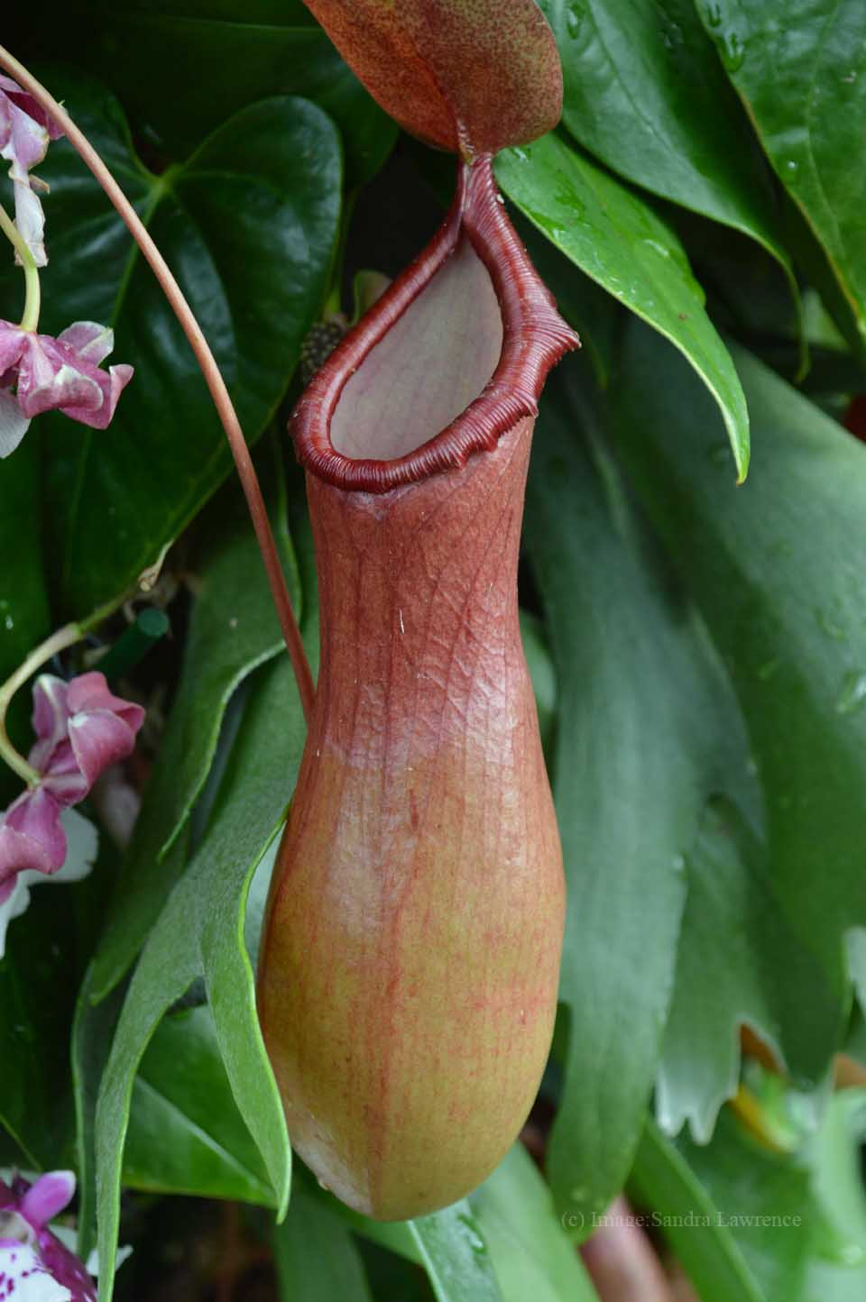 low-pitcher-plant