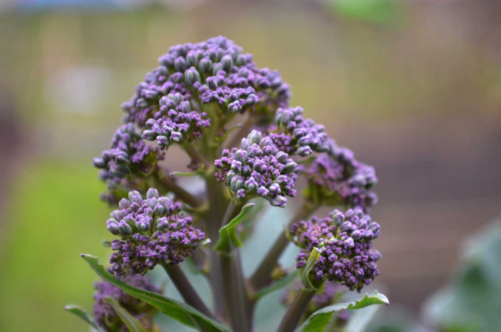 purple sprouting broccoli close up