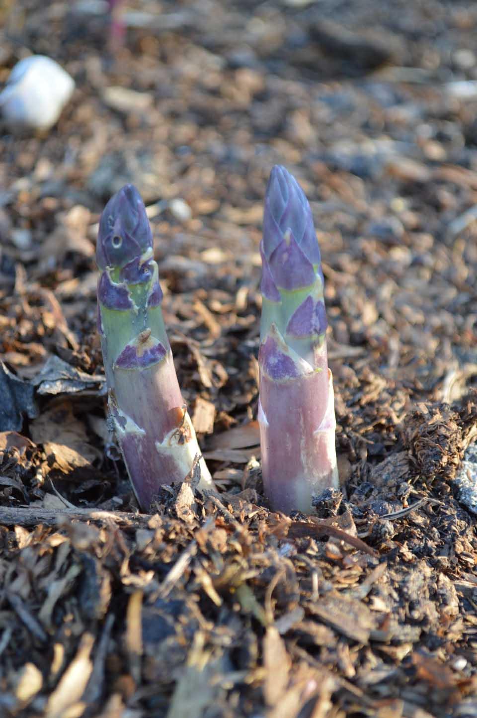 Asparagus March 26 2017
