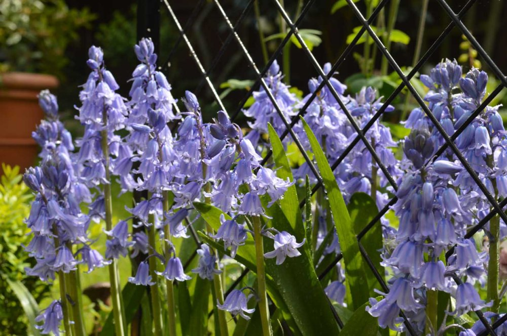 Sandra Lawrence Spanish bluebell7