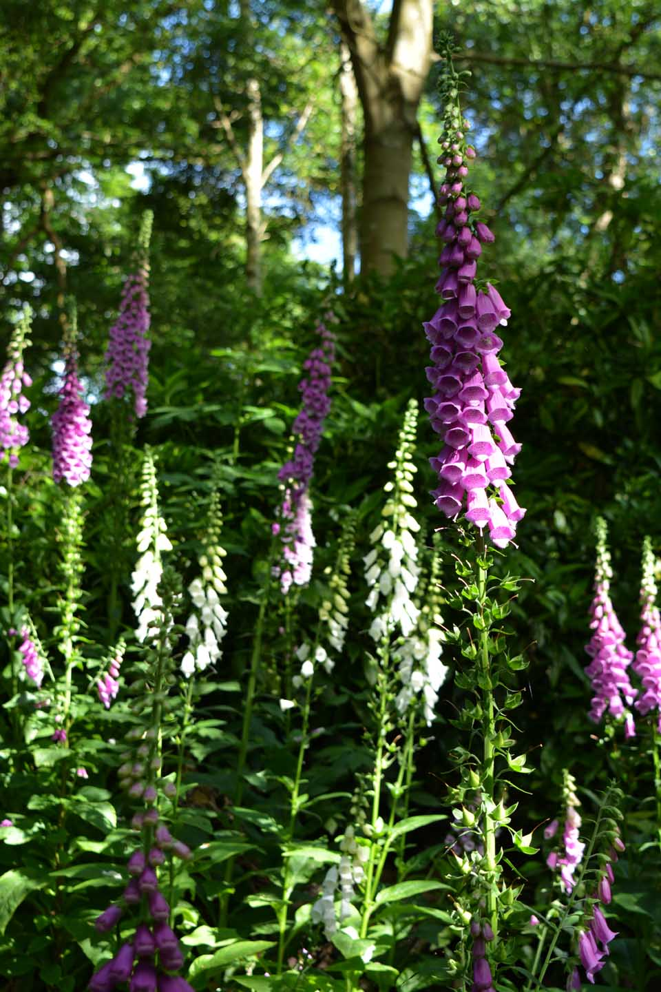 Foxgloves warley (c) Sandra Lawrence 4
