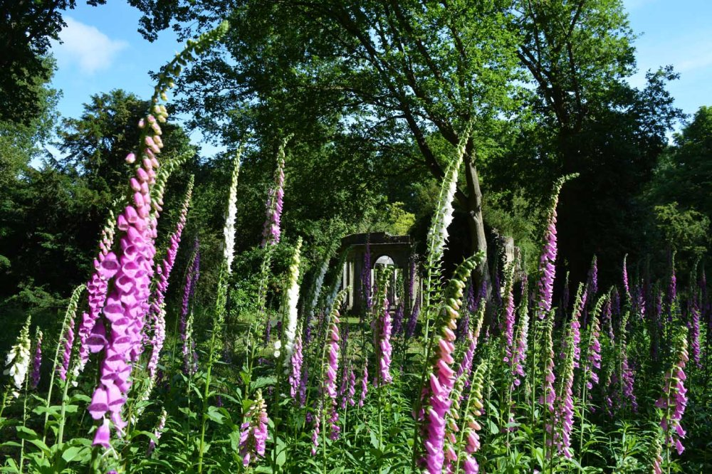 Foxgloves warley (c) Sandra Lawrence 6