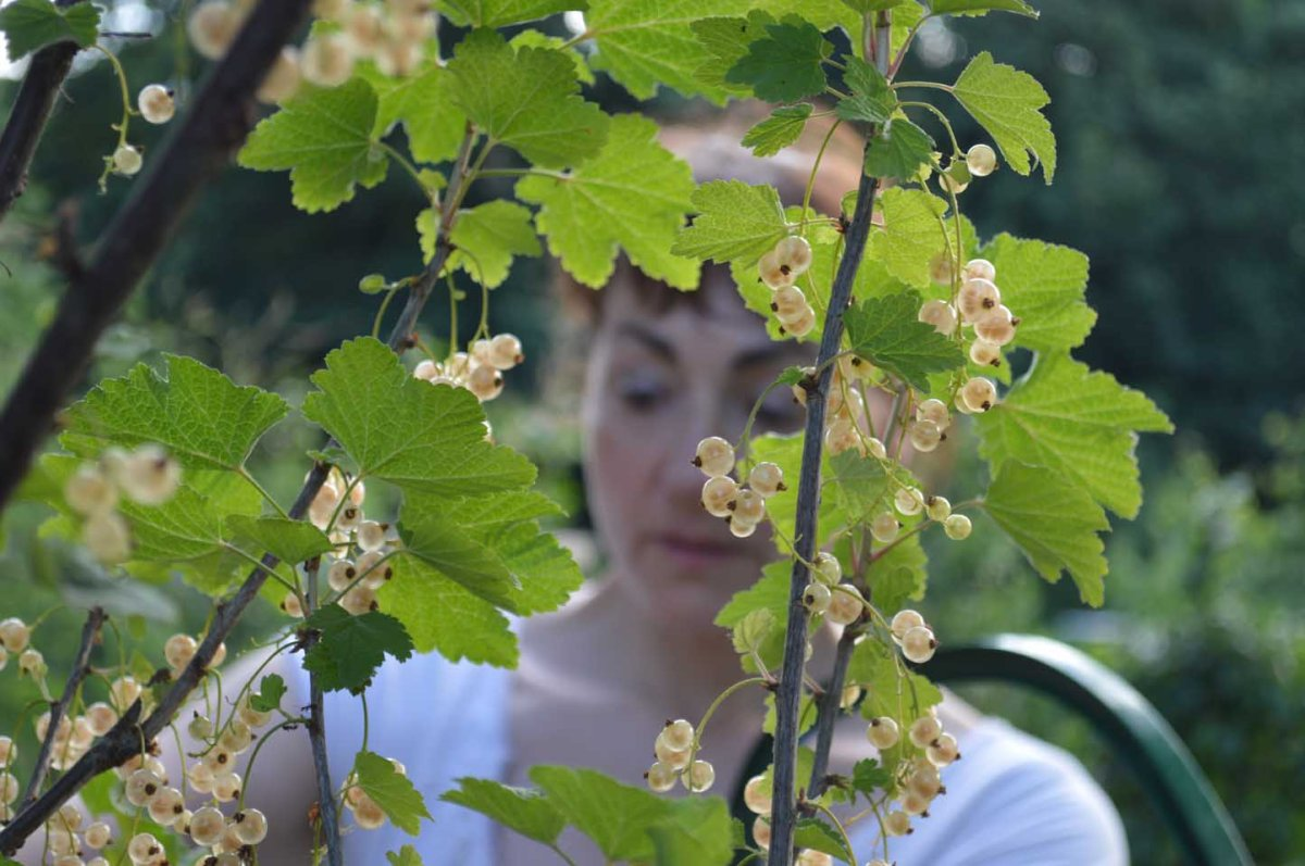 White Currants A Go Go But What The Bloomin Heck To Do With Em