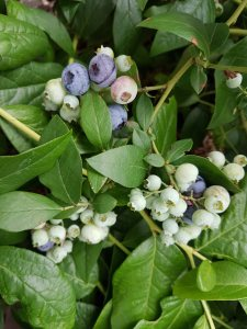 blueberries 2017